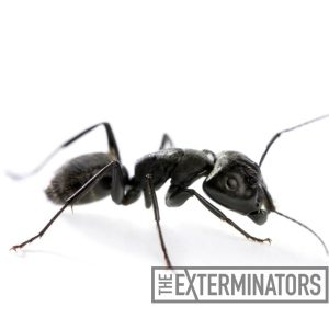 carpenter ant pest control Georgetown