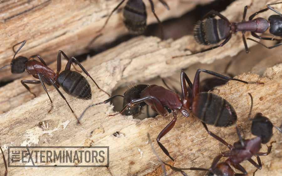 carpenter ants exterminator Georgetown