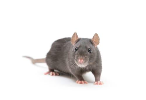 rat exterminator Georgetown