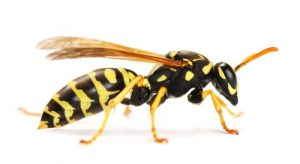 wasp removal Georgetown