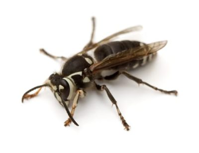 Bald-Faced-Hornets-.jpg