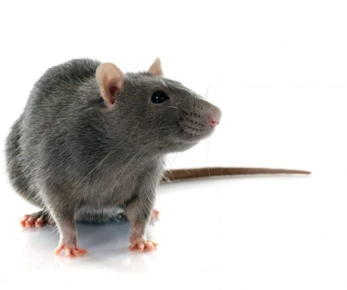 rat-exterminator-hamilton.jpg