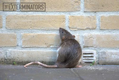 rat-removal-hamilton.jpg