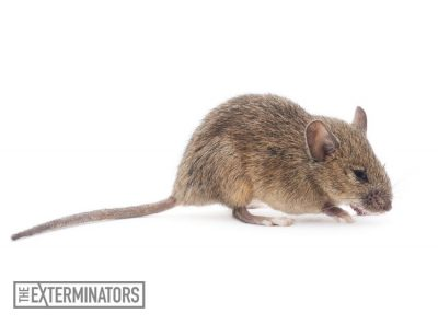 rodent extermination mouse control Georgetown